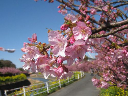 愛知県 渥美半島 免々田川 菜の花・桜まつり
